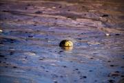 Tràn dầu ngoài khơi bang California ảnh hưởng nghiêm trọng tới môi trường